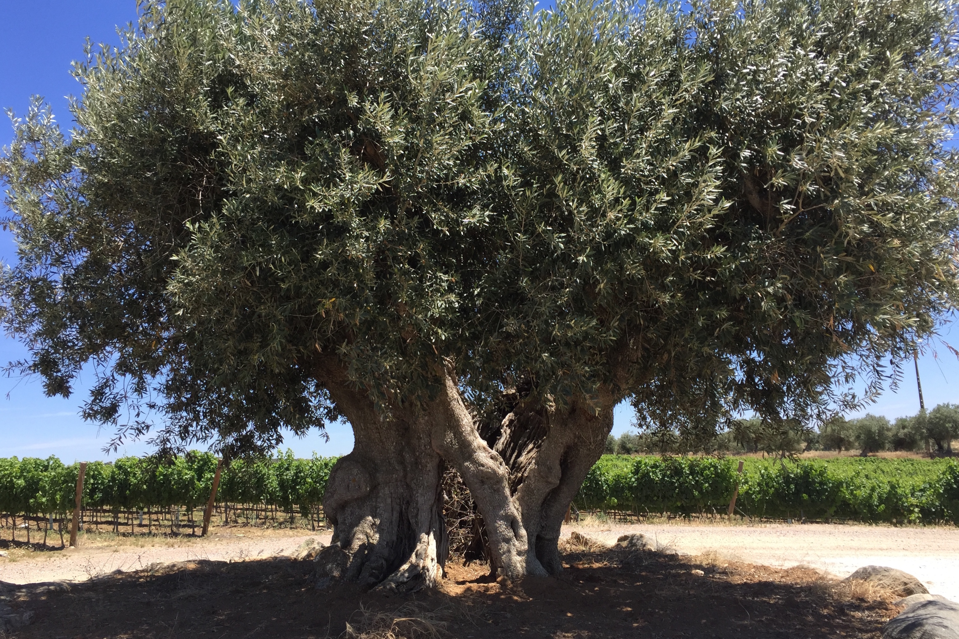 Herdade do Freixo Olive Tree 2000 years old