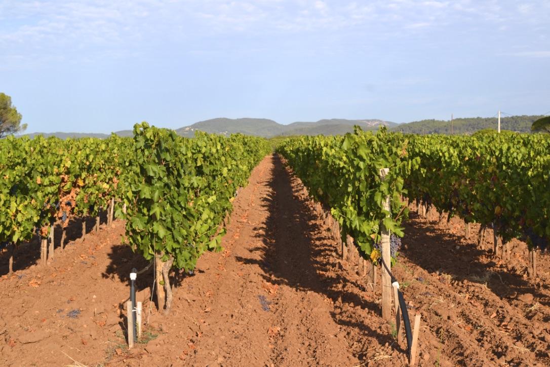 omaine des Feraud Vines Vineyard