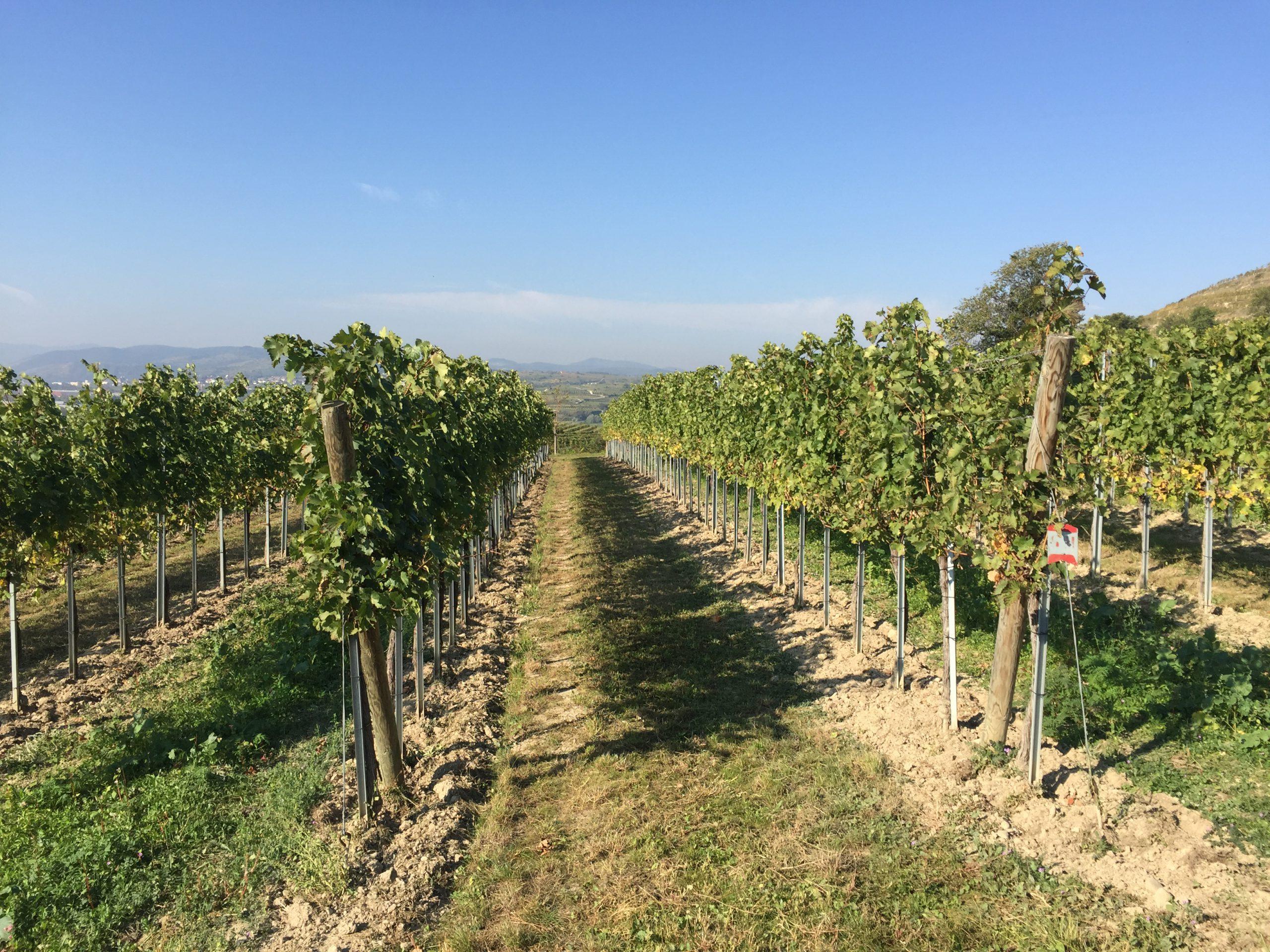 Weingut Mittelbach vineyards